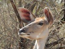 Kudu ewe głowa Zdjęcie Royalty Free