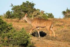 Kudu fêmea Foto de Stock