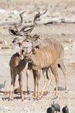 Kudu familiy Photographie stock libre de droits