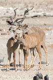 Kudu familiy Στοκ φωτογραφία με δικαίωμα ελεύθερης χρήσης
