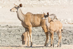 Kudu familj Arkivbild