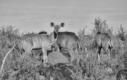 Kudu Family Group. A Kudu family group in Southern African savanna stock photo