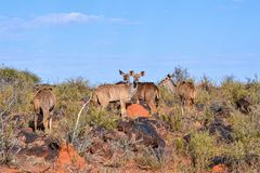 Kudu Family Group. A Kudu family group in Southern African savanna royalty free stock photos