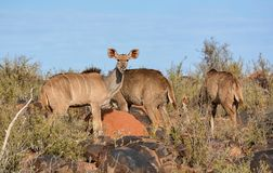 Kudu Family Group. A Kudu family group in Southern African savanna stock images