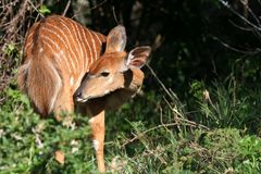 Kudu Female Antelope. Shy Kudu Female grooming in the sunshine Stock Images