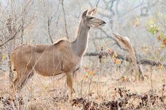 Kudu female in bush setting Royalty Free Stock Photo