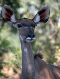 Kudu female in the bushveld. In the Kruger National Park, South Africa in June, 2014 Royalty Free Stock Photography