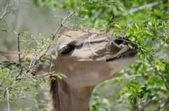 Kudu female eating Stock Photo