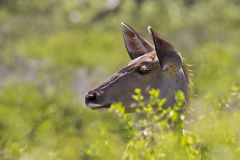 Kudu female staring. Kudu female standing and staring into the distance next to some green foliage Stock Images