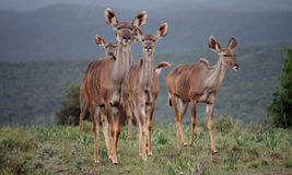 Kudu females. Group of kudus females - addo elephant np Royalty Free Stock Photography