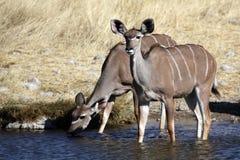 Kudu females drinking from waterhole, Namibia Stock Photos