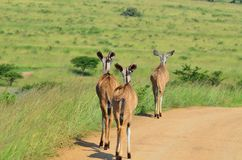 Kudu females walking down the road in africa. Kudu females walking down a dirt road in a african reserve Stock Photography