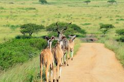 Kudu females walking down the road in africa. Kudu females walking down a dirt road in a african reserve Royalty Free Stock Photo