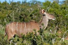 Kudu femelle Image stock