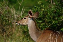 Kudu femelle Photos stock