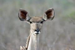 Kudu femenino Imagen de archivo libre de regalías