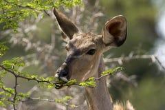 Kudu femminile Fotografia Stock Libera da Diritti