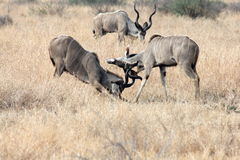 Kudu fight Royalty Free Stock Images