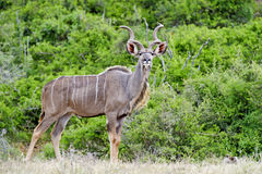Kudu Focus Stock Photo