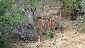 Kudu-Frau mit Rotschnabel-Madenhackern Lizenzfreies Stockfoto