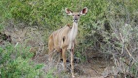 Kudu-Frau mit Rotschnabel-Madenhackern Stockfotografie