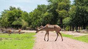 Kudu Royalty Free Stock Image