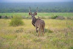 Kudu giovane Bull Immagine Stock Libera da Diritti