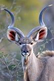 Kudu giovane Bull che esamina diritto il fotografo Fotografie Stock Libere da Diritti