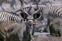 kudu graeter Стоковая Фотография RF