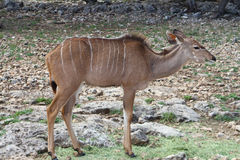 Kudu Royalty Free Stock Photography