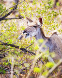 Kudu Grazing on Leaves Stock Images