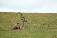 Kudu Greated Στοκ Φωτογραφίες