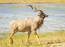 Kudu Royalty Free Stock Photo