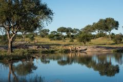 Kudu-Herde an einem waterhole stockfoto