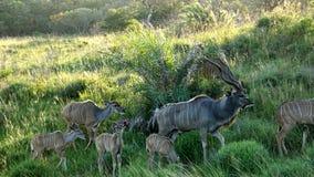 Kudu-Herde in Südafrika Lizenzfreies Stockfoto