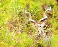 Kudu het Weiden in het Nationale Park van Kruger Royalty-vrije Stock Afbeeldingen