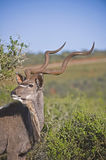Kudu Horns Royalty Free Stock Photography
