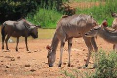 Kudu i błękitny wildebeest Zdjęcie Stock