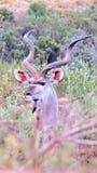 Kudu i den afrikanska busken Fotografering för Bildbyråer
