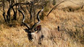 Kudu i den Kruger nationalparken Arkivfoto