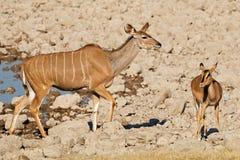 Kudu i impala antylopy przy waterhole Obraz Stock