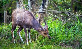 Kudu im iSimangaliso Sumpfgebiet-Park stockfoto
