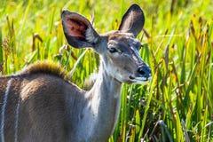 Kudu. Im iSimangaliso-Wetland-Park royalty free stock image