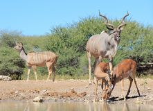 Kudu and Impala - African watering hole social antics Stock Photography