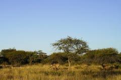 Free Kudu In Bush Under Blue Sky At Okonjima Nature Reserve, Namibia Royalty Free Stock Image - 125168326