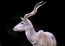 Kudu isolou-se Imagens de Stock