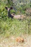 Kudu joven Bull entre los arbustos gruesos fotos de archivo libres de regalías
