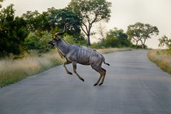 Kudu jumping over a road stock photo