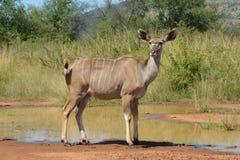 Kudu-Kalb Lizenzfreies Stockbild