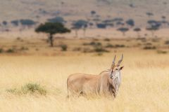 Kudu in Kenya With Oxpecker on Head Stock Photos